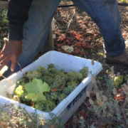 Just-harvested Sauvignon Blanc grapes