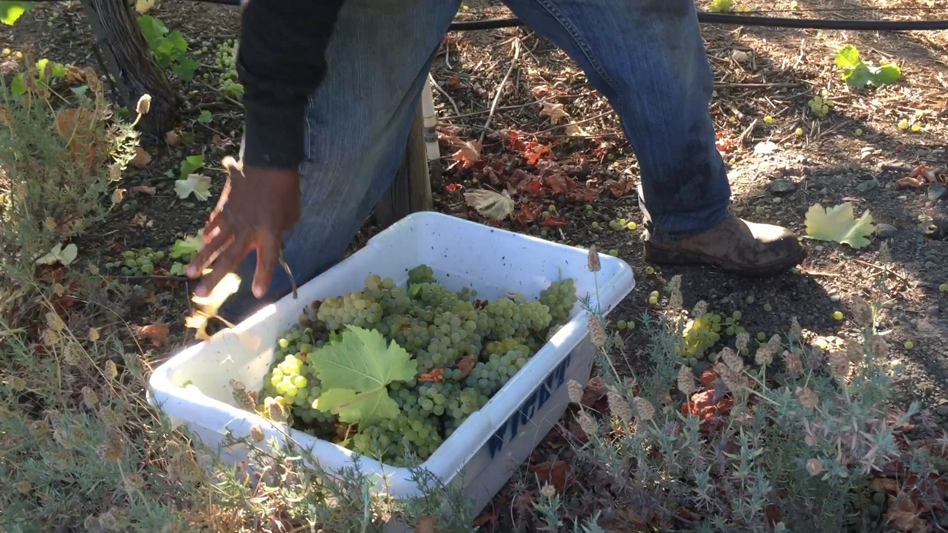 Just-harvested Sauvignon Blanc grapes
